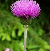 pcháč různolistý  <i>(Cirsium heterophyllum)</i> / Květ/Květenství