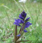 vítod obecný <i>(Polygala vulgaris)</i> / Květ/Květenství