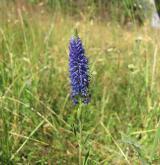 rozrazil klasnatý <i>(Pseudolysimachion spicatum)</i> / Květ/Květenství