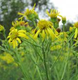 starček bažinný <i>(Senecio paludosus)</i> / Květ/Květenství