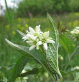 tolita lékařská <i>(Vincetoxicum hirundinaria)</i> / Květ/Květenství