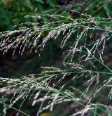 bezkolenec rákosovitý <i>(Molinia arundinacea)</i>