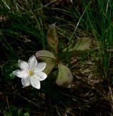 sedmikvítek evropský <i>(Trientalis europaea)</i> / Habitus