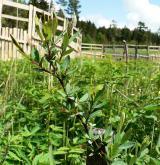 vrba borůvkovitá <i>(Salix myrtilloides)</i> / Habitus