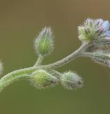 pomněnka rolní <i>(Myosotis arvensis)</i> / Květ/Květenství