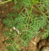 dejvorec velkoplodý  <i>(Caucalis platycarpos)</i> / List