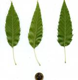 dub nejšpičatější <i>(Quercus acutissima)</i> / List