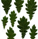 dub Hartwissův <i>(Quercus hartwissiana)</i> / List