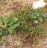 Jednoletá sešlapávaná vegetace suchých stanovišť <i>(Coronopodo-Polygonion arenastri)</i> / Detail porostu