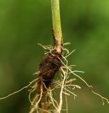 locika dubová <i>(Lactuca quercina)</i> / Zásobní orgán/orgán klonálního růstu