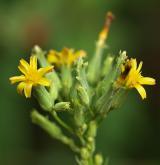 locika dubová <i>(Lactuca quercina)</i> / Květ/Květenství