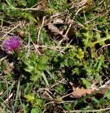 pcháč bezlodyžný <i>(Cirsium acaulon)</i> / Habitus