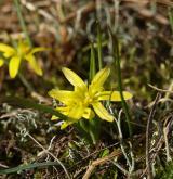 křivatec nizoučký <i>(Gagea pusilla)</i> / Květ/Květenství