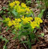 pryšec mnohobarvý <i>(Euphorbia epithymoides)</i> / Habitus
