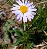 hvězdnice alpská <i>(Aster alpinus)</i> / Květ/Květenství