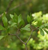 ochmet evropský <i>(Loranthus europaeus)</i> / Habitus