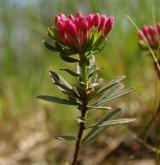lýkovec vonný <i>(Daphne cneorum)</i> / Habitus