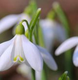 sněženka podsněžník <i>(Galanthus nivalis)</i> / Květ/Květenství