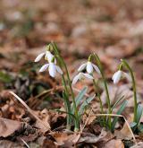 sněženka podsněžník <i>(Galanthus nivalis)</i> / Habitus