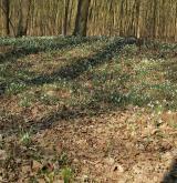 sněženka podsněžník <i>(Galanthus nivalis)</i> / Porost