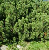 borovice kleč <i>(Pinus mugo)</i> / Habitus