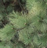 borovice černá <i>(Pinus nigra)</i> / List