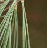 borovice vejmutovka <i>(Pinus strobus)</i> / List