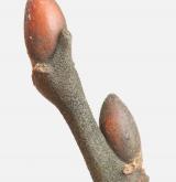 vrba velkolistá <i>(Salix appendiculata)</i> / Větve a pupeny