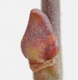 vrba popelavá <i>(Salix cinerea)</i> / Větve a pupeny
