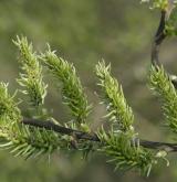 vrba popelavá <i>(Salix cinerea)</i> / Květ/Květenství