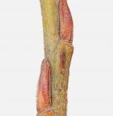 vrba šedá <i>(Salix elaeagnos)</i> / Větve a pupeny