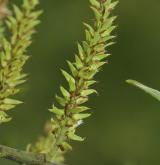 vrba nachová <i>(Salix purpurea)</i> / Květ/Květenství