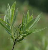 vrba rozmarýnolistá <i>(Salix rosmarinifolia)</i> / Habitus
