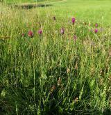 pcháč panonský <i>(Cirsium pannonicum)</i> / Habitus