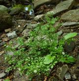 řeřišnice křivolaká <i>(Cardamine flexuosa)</i> / Habitus