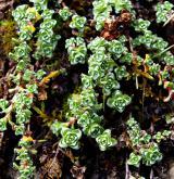 lomikámen vstřícnolistý <i>(Saxifraga oppositifolia)</i> / Habitus
