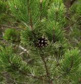 borovice blatka <i>(Pinus rotundata)</i> / Habitus