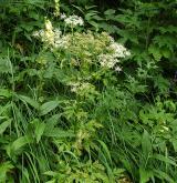 mázdřinec rakouský <i>(Pleurospermum austriacum)</i> / Habitus