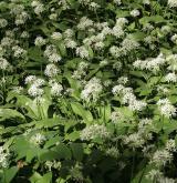 česnek medvědí <i>(Allium ursinum)</i> / Habitus