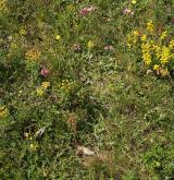 Acidofilní suché trávníky <i>(Koelerio-Phleion phleoidis)</i> / Detail porostu