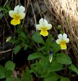 violka trojbarevná <i>(Viola tricolor)</i> / Habitus