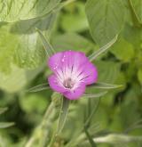 koukol polní <i>(Agrostemma githago)</i> / Květ/Květenství