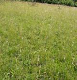 Subkontinentální širokolisté suché trávníky <i>(Cirsio-Brachypodion pinnati)</i> / Porost