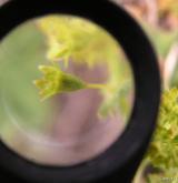 kontryhel pastvinný <i>(Alchemilla monticola)</i> / Květ/Květenství