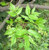 klokoč zpeřený <i>(Staphylea pinnata)</i> / Ostatní