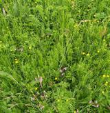Střídavě vlhké bezkolencové louky <i>(Molinion caeruleae)</i> / Detail porostu