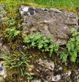Štěrbinová vegetace bazických skal <i>(Cystopteridion)</i>