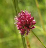česnek kulatohlavý <i>(Allium sphaerocephalon)</i> / Květ/Květenství