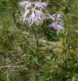 hvozdík pyšný <i>(Dianthus superbus)</i>