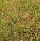 Podhorské a horské smilkové trávníky <i>(Violion caninae)</i>